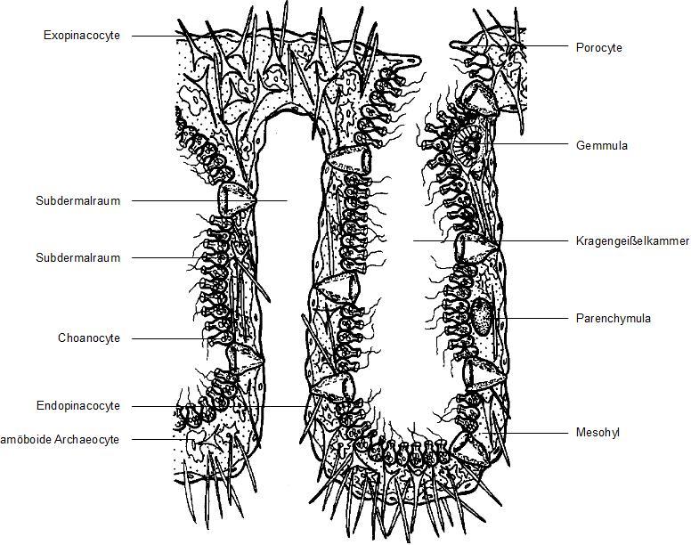 Porifera (Schwämme) – Biostudies